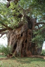IROKO TREE IMAGE